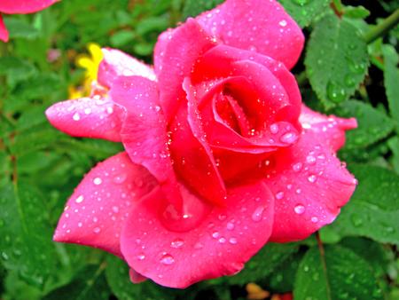 vignette rose